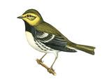 Black-Throated Green Warbler (Dendroica Virens)  Birds