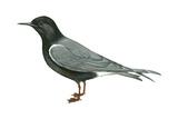 Black Tern (Chlidonias Niger Surinamensis)  Birds
