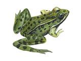 Leopard Frog (Rana Pipiens)  Amphibians