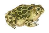 Great Plains Toad (Bufo Cognatus)  Amphibians
