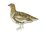 White-Tailed Ptarmigan (Lagopus Leucurus)  Birds
