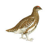 Rock Ptarmigan (Lagopus Mutus)  Birds