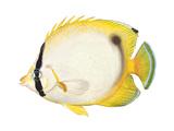 Butterflyfish (Chaetodon Ocellatus)  Fishes