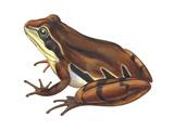 Chorus Frog (Pseudacris Ornata)   Amphibians