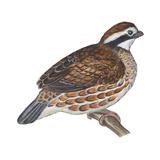 Bobwhite (Colinus Virginianus)  Birds