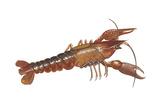Crayfish (Cambarus Bartonii)  Crustaceans