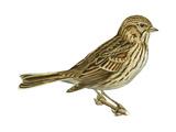Vesper Sparrow (Pooecetes Gramineus)  Birds