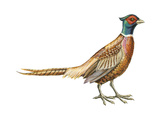 Ring-Necked Pheasant (Phasianus Colchicus)  Birds