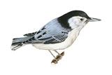 White-Breasted Nuthatch (Sitta Carolinensis)  Birds