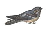 Goatsucker or Nightjar (Caprimulgus Europaeus)  Birds