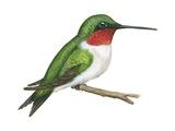Ruby-Throated Hummingbird (Archilochus Colubris)  Birds