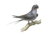 Crested Tree Swift (Hemiprocne Longipennis)  Birds