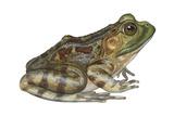Bullfrog (Rana Catesbeiana)  Amphibians