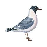 Franklin's Gull (Larus Pipixcan)  Birds