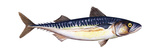 Atlantic Mackerel (Scomber Scombrus)  Fishes