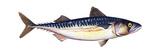 Atlantic Mackerel (Scomber Scombrus)  Fishes