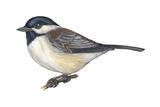 Carolina Chickadee (Parus Carolinensis)  Birds
