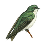 Tree Swallow (Tachycineta Bicolor)  Birds