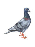 European Rock Dove (Columba Livia)  Birds