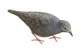 Common Ground Dove (Columbina Passerina Terrestris)  Birds