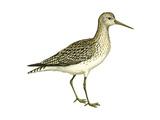Solitary Sandpiper (Tringa Solitaria)  Birds