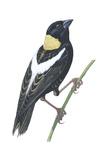 Bobolink (Dolichonyx Oryzivorus)  Birds