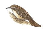 Creeper (Certhia Familiaris)  Birds