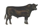 Angus Bull  Beef Cattle  Mammals