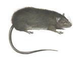Greater Bandicoot Rat (Bandicota Indica)  Mammals