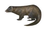 American Mink (Neovison Vison)  Weasel  Mammals