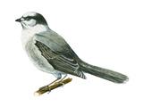 Canada Jay (Perisoreus Canadensis)  Birds
