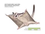 Sugar Glider (Petaurus Breviceps)