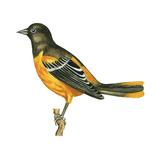 Baltimore Oriole (Icterus Galbula)  Birds