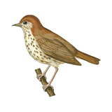 Wood Thrush (Hylocichla Mustelina)  Birds