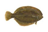 Flounder (Pseudopleuronectes Americanus)  Fishes