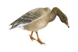 Greylag Goose (Anser Anser)  Birds
