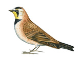 Horned Lark (Eremophila Alpestris)  Birds