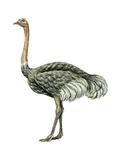 Ostrich (Struthio Camelus)  Birds