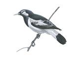 Mudlark (Grallina Cyanoleuca)  Birds