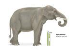 Asian Elephant (Elephas Maximus)  Mammals