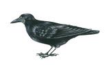 Rook (Corvus Frugilegus)  Birds