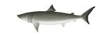 Basking Shark (Cetorhinus Maximus)  Fishes