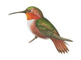 Allen's Hummingbird (Selasphorus Sasin)  Birds