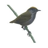 Wrenthrush (Zeledonia Coronata)  Birds