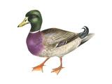 Mallard (Anas Platyrhynchos)  Duck  Birds