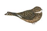 Nighthawk (Chordeiles Minor)  Birds