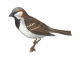 House or English Sparrow (Passer Domesticus)  Birds
