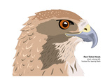 Red-Tailed Hawk (Buteo Jamaicensis)  Birds