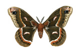 Cecropia Moth (Samia Cecropia)  Emperor Moth  Insects