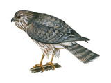 Harrier (Circus Cyaneus)  Marsh Hawk  Birds